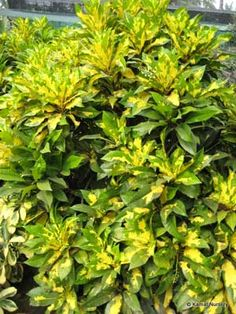 Gold dust croton codiaeum variegatum 39 gold dust 39 is a for Low maintenance tropical plants