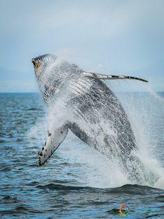 Avvistamento Balene nelle acque tra il Canada e l'Alaska