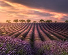 Lavender Fields at Sunset in Valensole by JimmyMcintyre via http://ift.tt/2tpoIAT