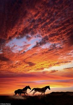 copyright: Raissa Portela  Horses run in the setting sun