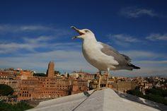 Italy - Lazio - Yellow-legged Gull (Gabbiano Reale) a Roma, Piazza del Campidoglio - by Ernst Scharfetter