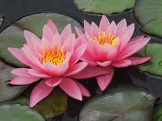 The national flower Shapla (water lily) is surrounded by two sheaves of rice. Above the water lilly are four stars and a three jute leaves. Water Flowers, Water Plants, Wild Flowers, Lilly Bouquet Wedding, Cross Drawing, White Lily Flower, Flower Structure, Lotus Flower Art, Zen Painting