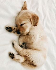 Golden Retriever Discover 10 Adorable Puppies Playing In Their First Snow [PICTURES] - Dogtime tiny sleeping Golden Retriever puppy Super Cute Puppies, Cute Baby Dogs, Cute Little Puppies, Super Cute Animals, Cute Dogs And Puppies, Cute Funny Animals, Baby Animals Super Cute, Adorable Puppies, Puppies Puppies