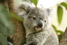Oh sure koalas look like living stuffed animals made of fluff and hugs. | Proof Positive Koalas Are Secretly Evil Gremlins