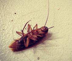 Remedios caseros para combatir cucarachas y hormigas | Mis Remedios Caseros