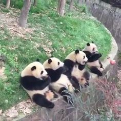 Cute Little Animals, Cute Funny Animals, Cute Dogs, Panda Funny, Cute Panda, Cute Animal Videos, Funny Animal Pictures, Tier Fotos, My Spirit Animal