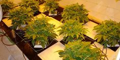 The Best pH And EC Values For Hydro Marijuana Growers