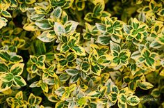Kúszó Kecskerágó Shrubs, Lawn, Home And Garden, Plants, Gardening, Google, Lawn And Garden, Shrub, Plant