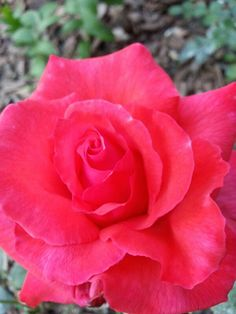 Dolly Parton Hybrid Tea Rose...I just love the color :-)