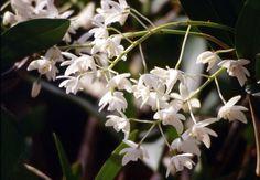 Dendrobium × delicatum (F.M.Bailey) F.M.Bailey