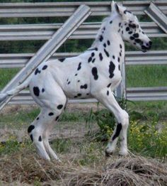 Leopard Appaloosa Foal. So cute. This foal is adorable. Comment,Like, and Follow.