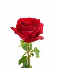 4,25 € - Una rosa de tallo largo