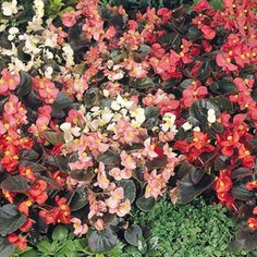 Are you looking for begonia seeds that produce a mix of pink, rose, salmon, scarlet and white blooms?  Cocktail Mix begonia seeds from Harris Seeds are a great choice.  Order today!