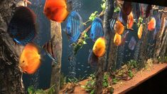 Diskus Aquarium, Saltwater Aquarium Fish, Tropical Fish Aquarium, Tropical Fish Tanks, Aquarium Design, Biotope Aquarium, Jellyfish Aquarium, Fish Ocean, Aquarium Original