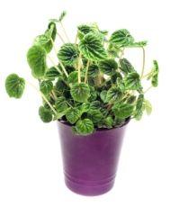 Peperomia Plant - Peperomia caperata - Care Tips, Picture