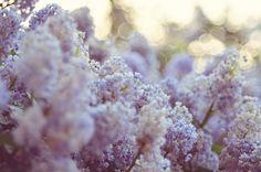 Rue de Emily: Loving Lilacs....