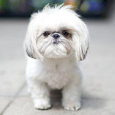 Lola, Shih Tzu, 20th & Park Ave, New York, NY//the dogist