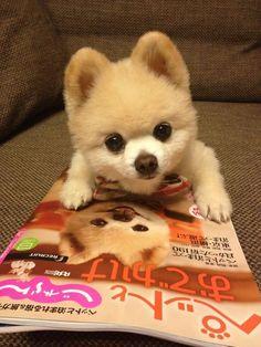... Hall on Pinterest | Pomeranians, Pomeranian dogs and Pomeranian puppy