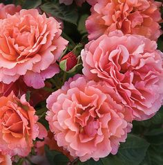 """ Eady Does It "" (HARpageant) - Floribonda rose - Mango-orange, peach-pink and honey-apricot - Moderate, fruity fragrance - Harkness (UK), 2010 Amazing Flowers, Beautiful Roses, Beautiful Flowers, Weeks Roses, Floribunda Roses, Rose Foto, Ronsard Rose, Rose Pictures, Growing Roses"