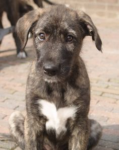 irish wolfhound: i want one so bad  OMG this is what Angus looked like as a pup!
