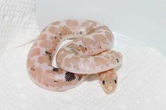 Snow Paradox Kenyan Sand Boa by VMS Professional Herpetoculture - MorphMarket USA Rosy Boa, Snake Breeds, Pretty Snakes, Ball Python, Reptiles And Amphibians, Paradox, Drawing Tips, Toast, Creatures