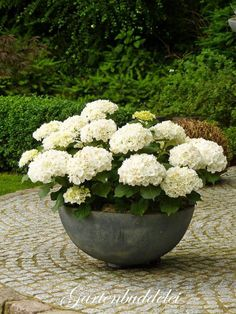 white hydrangea in bowl pot