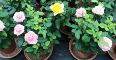 Nurserylve is giving away set of 5 enchanting rose plants along with 5 inch Plastic Pot Free !  The set contains 5 enchanting roses of red, yellow, orange, pink & white color + Free delivery anywhere in India.