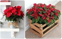Transplant poinsettias to buckets with burlap or wooden crates to spruce them up from the typical cheap cellophane packaging.:
