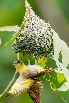 Exotic birds : Weaver