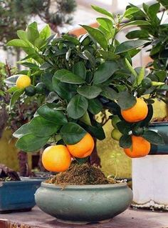 bonsai sinaasappel