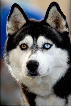 Husky,olho diferente.