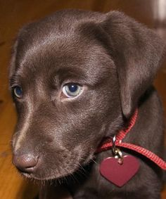 Chocolate lab puppy - I bet my little girl was just as cute. Labrador Chocolate, Chocolate Lab Puppies, Cute Puppies, Cute Dogs, Dogs And Puppies, Doggies, I Love Dogs, Puppy Love, Baby Animals