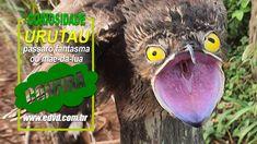 URUTAU PÁSSARO FANTASMA Owl, Bird, Animals, Nocturne, Travel, Animales, Animaux, Owls, Birds