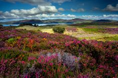 Fields of heather on the Isle of Ulva, Scotland. Photo: Elizabeth May Scotland Travel, Ireland Travel, Scotland Nature, England Ireland, Outer Hebrides, Scottish Islands, Countries Of The World, Natural World, Beautiful Places