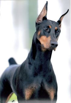 Doberman Pinscher - I love them they are so smart and loving. Has enough time passed to replace Julius ??