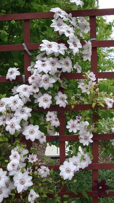 Clematis Miss Bateman....Blooms are 6 inches. They show up mid sprig to early summer . Plant grows to 6 feet.