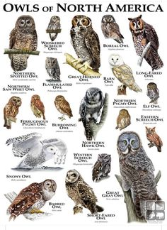 Fine art illustration of some of the species of owl native to North America Owls of North America Burrowing Owl, Barred Owl, Owl Bird, Pet Birds, Western Screech Owl, Elf Owl, Eurasian Eagle Owl, Strix Nebulosa, Short Eared Owl