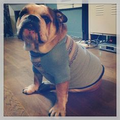 Bouba is a British Bulldog, he lives in Paris and  is 6 years old. He is a HUGE Snorer and is anyone's friend for a scrap of food... Bouba, you are PEDLARS DOG OF THE WEEK!