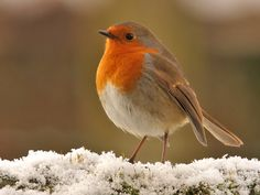 A robin redbreast in the snow, Rødkælk, Rødhals, bird, cute, nuttet, precious, Winter, beauty of Nature, photo