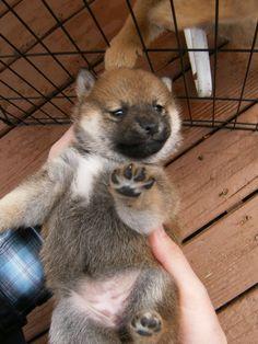 shiba inu puppies look like bear cubs