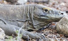 Komodo National Park is home of Fomous Komodo Dragons, Its the jurassic park of Indonesia located between the island of Sumbawa and Flores Island http://www.boatcharterkomodo.com/tour-packages #komodotours #komodoadventure #komodoboatcharter