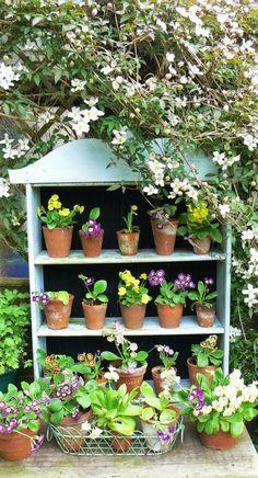 The joys of Spring Auriculas - Modern Cottage Garden Design, Cottage Garden Plants, Garden Planters, White Gardens, Small Gardens, Garden Pool, Garden Landscaping, Shabby Vintage, Primula Auricula
