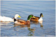 Sapanca Gölü / Ördekler
