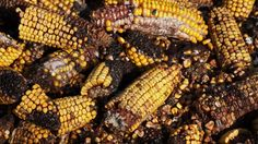 Climate change is making food more toxic.   Mycotoxins and other poisons are cropping up in our crops.