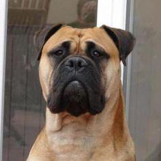 Bullmastiff | giant dog breeds
