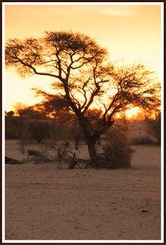 Kameeldoringboom met sonsondergangs Beautiful Sunset, Most Beautiful, Sunsets, Sunrise, Landscapes, Trees, Celestial, Places, Outdoor