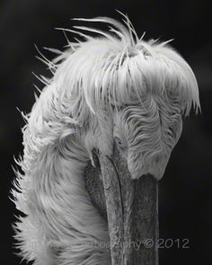 "Tim Pryor - This great character is a Dalmation Pelican. The unique feather formation on this bird makes for an unusual and interesting image which will capture everyone's eye. The image is available as a 14"" x 10"" Limited Edition Fine Art Print (2/250). I only use the best fine art paper available which is a natural white Hahnemühle ""William Turner"" mould paper (matt, 310 g/m²). This paper produces excellent image sharpness and brilliant colour grading pro    £45.00"