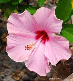 'Candy Wind' Hibiscus, Hawaii ~ by B N Sullivan