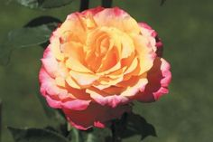 """Heart O Gold Grandiflora Rose:  roducing 4"""" blooms (petals 38) of perfect form with a rich golden center  shading to hot pink toward the edges. A true continual blooming grandiflora that will give arms full of long stemmed blooms.  Zone 5-10"""