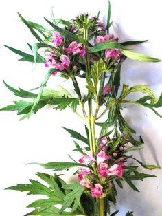 http://curaplantas.xpg.uol.com.br/imagens%20plantas/rubim.jpg
